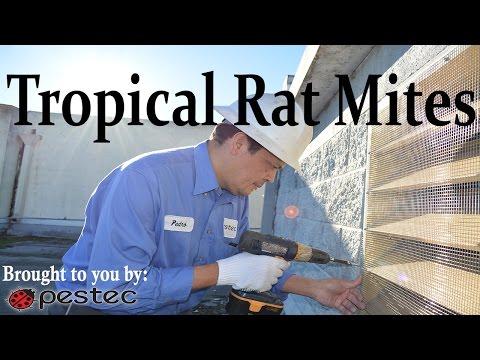 Pestec: How to Get Rid of Tropical Rat Mites