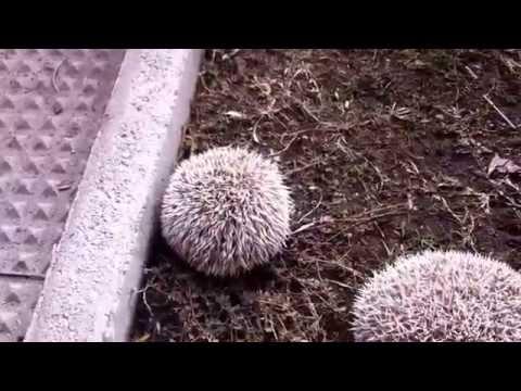 Hibernating Hedgehogs!