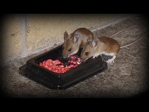 Watch Rodents eating poison - How to get rid of mice and rats in the home