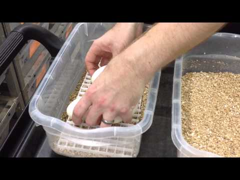 Garrick DeMeyer's Ball Python Breeding Season- breeding, gravid females, and egg setup.