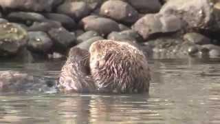 Sea Otters vs. Urchins in Canada