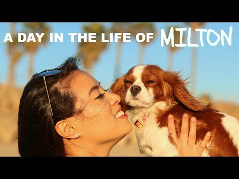 A Day in the Life of Milton | Cavalier King Charles in Los Angeles California Edition