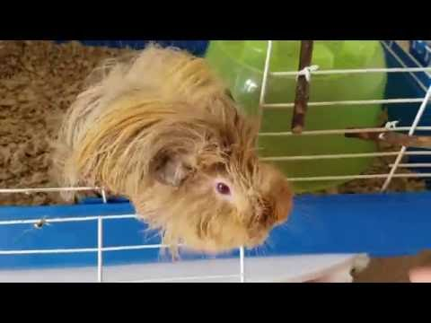 How to wash a guinea pig