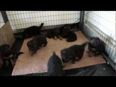 German Shepard Puppies AKC Registered