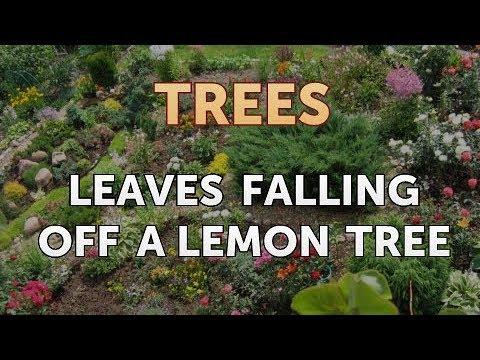 Leaves Falling Off a Lemon Tree