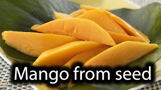 How to grow Mango tree from it`s seed at home.