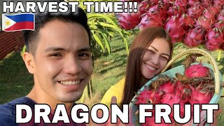 HARVESTING DRAGON FRUIT IN OUR POULTRY FARM   POULTRY FARMING PHILIPPINES