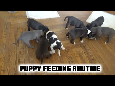 How We Feed Our American Pit Bully Puppies