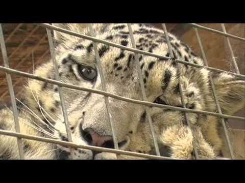 Big Cats at the Cat Survival Trust