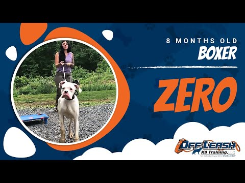 8 Month Boxer, Zero   Off Leash Obedience   Norther Virginia Dog Trainers