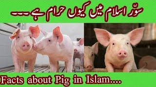 Facts about pig || Why Pig is Haram In Islam || سؤر اسلام میں کیوں حرام ہے ||