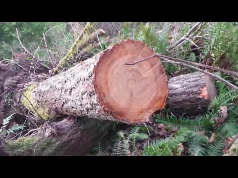 Cutting up a windblown tree for next winter