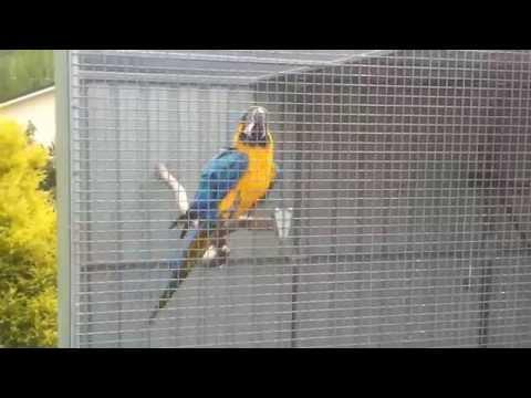 Macaws For Sale by Backyard Birds Australia