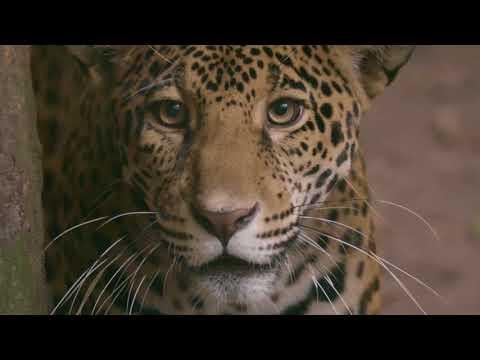 Jaguar: se busca crear la primer Área Natural Protegida trinacional para su protección
