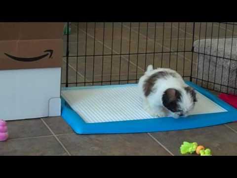 Wizdog potty training - Shih Tzu puppy