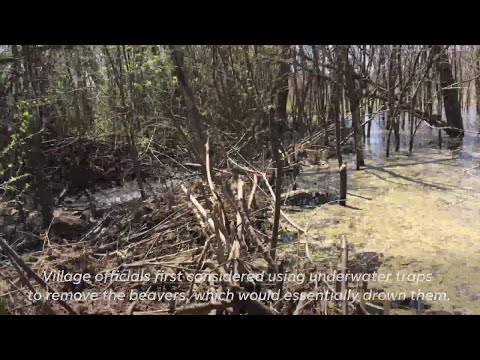 Beaver dam causing flooding concerns in Mukwonago