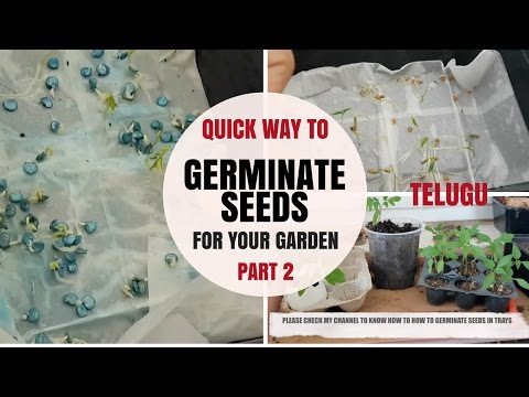 easy way to Germinate any Seeds Fast and PART 2 Telugu | Chilli Tomato  and Egg plant seeds