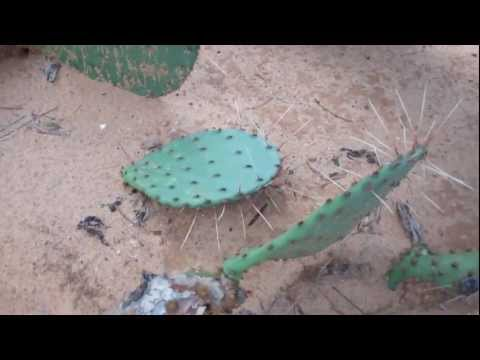 Survival Tips & Tricks: How To Eat A Cactus