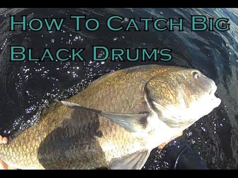 How to Catch Big Black Drum