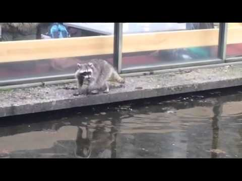 Two raccoons played water at SFU