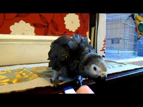 African Grey Parrot Shower Time Take 2 Casper