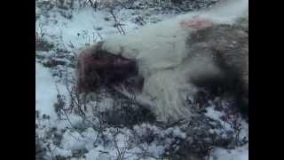 The Human Animal Ep. 2 - The Hunting Ape