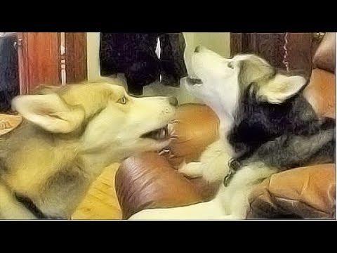 Siberian Husky Shiloh and Shelby | Cats of Autumn