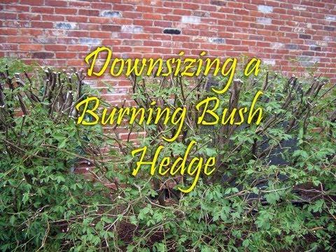 HOW TO: Downsize Burning Bush Hedge
