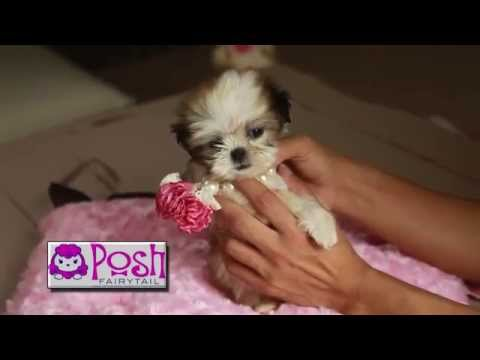 Teacup Puppies for Sale Houston Texas Call 804-836-4628 We deliver to Texas Area