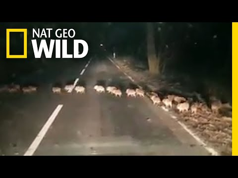 Why Did the Baby Boars Cross the Road? | Nat Geo Wild
