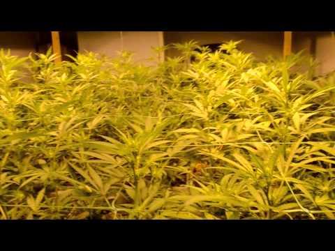 Night 15 and day 16 bloom Royal cheese.wmp.wmv