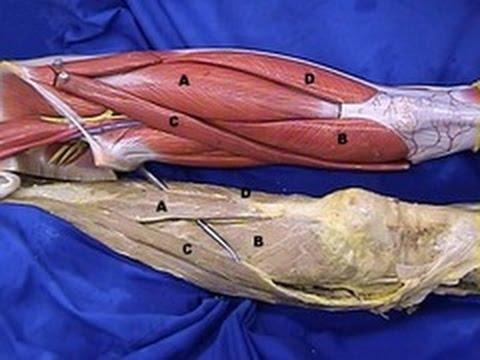 The Lower Limb - Great Saphenous Vein, dissection - MGA Lab 1 - LMU & DCOM