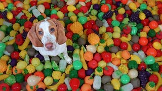 Cute Puppy Gets Surprise of a Lifetime! Squeaky Fruit Toy Pit!