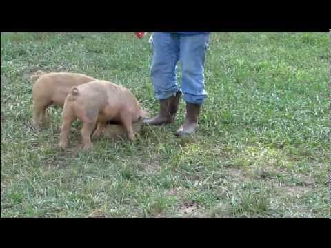 how to weigh your pigs