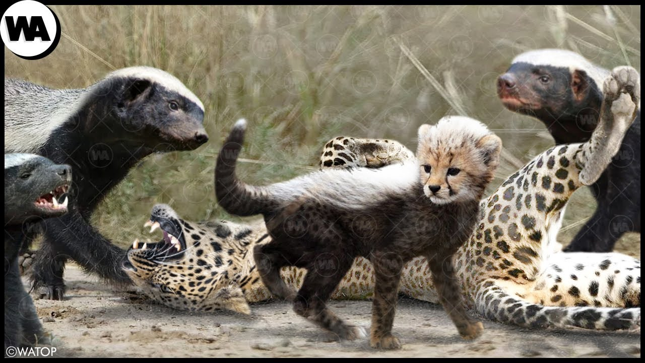 This Is Why Predators Don't Touch Cheetah Cubs