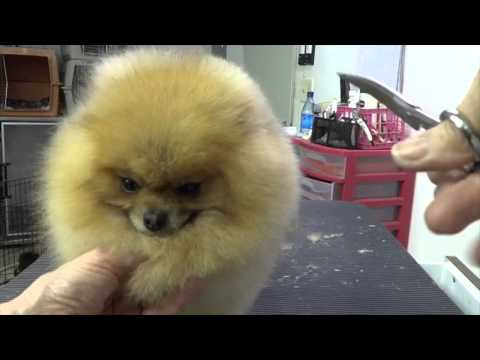 Grooming the Show Pomeranian (part three)
