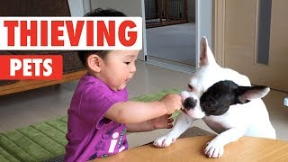 Thieving Pets   Funny Pet Video Compilation