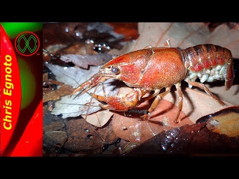 Burrowing Crayfish with a Surprise!