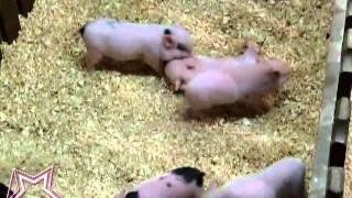 Известные свинки девочки Клуб любителей хрюш