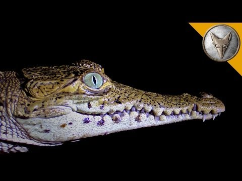 Crazy Crocodile Catch!