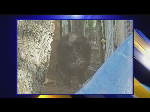 Deputies catch large pig running loose on Trumbull Co. farm