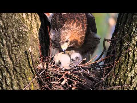 Red-tailed Hawk's nest - Week 1