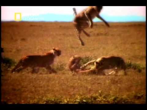 Cheetah mating habits