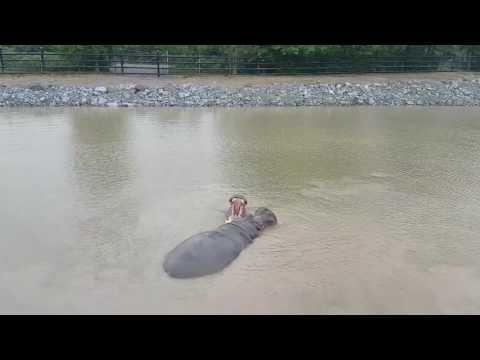 Synchronize swimming hippos
