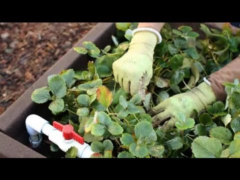 How to Clean Up a Strawberry Patch : Strawberry Gardening