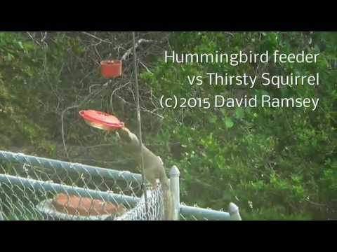 Hummingbird Feeder vs Thirsty Squirrel