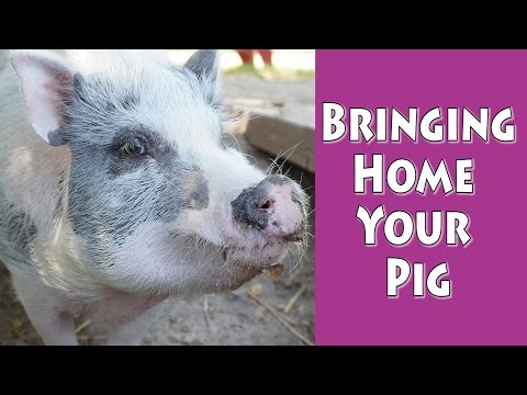 Bringing Home Your Pig