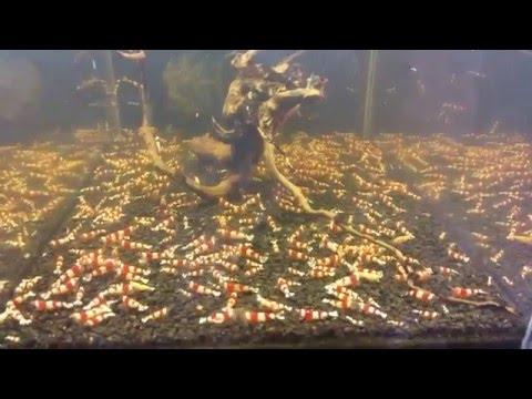 My Tanks Crystal Red Shrimp / Moje Crystale