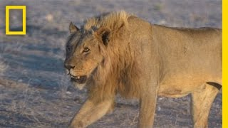 Living With Lions in Namibia | National Geographic