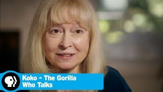 KOKO - THE GORILLA WHO TALKS | Beginning of Koko's Story | PBS